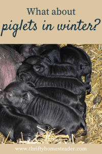 piglets in winter pin