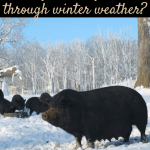 pigs in winter pin