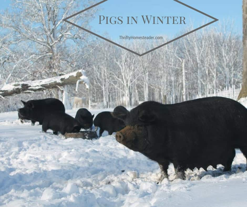 Pigs in winter weather