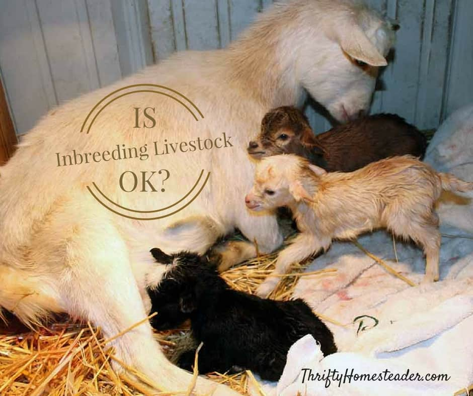 Is inbreeding livestock okay?