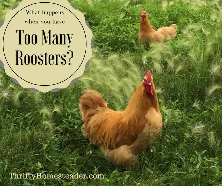 too many roosters