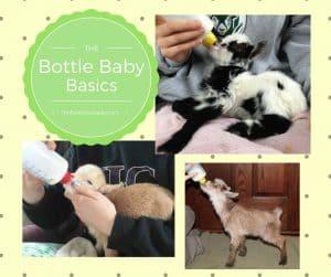 bottle feeding goat kids