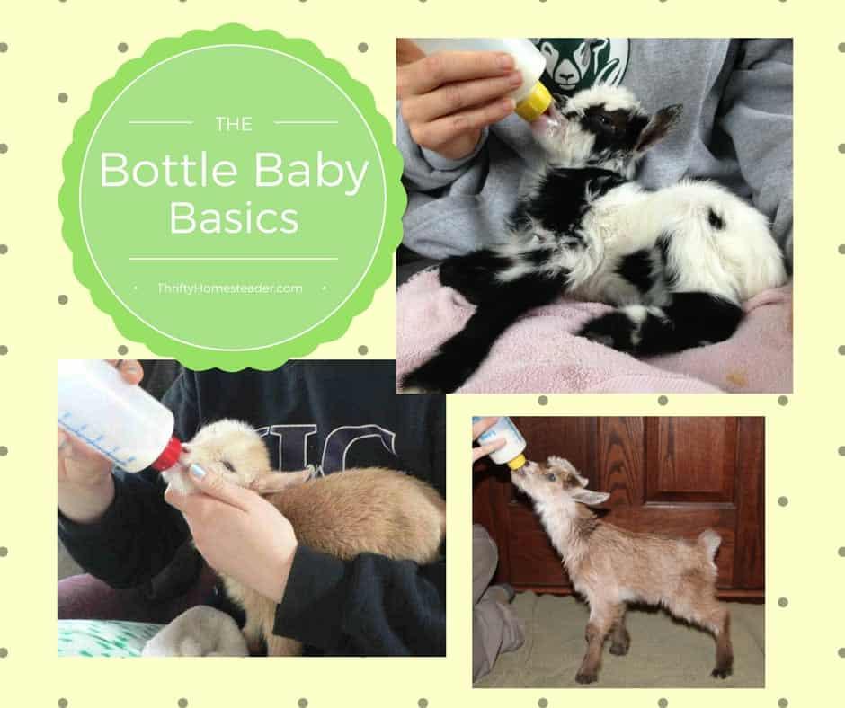 bottle feeding baby goats
