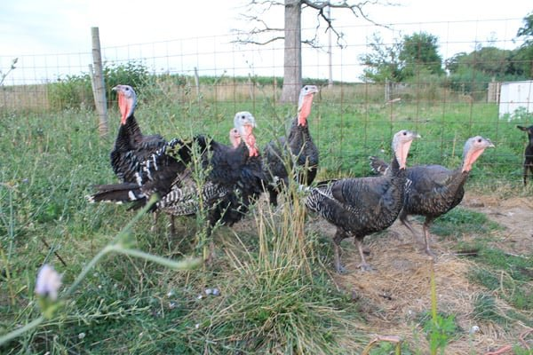 raising turkeys