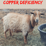 Copper Deficient Goat