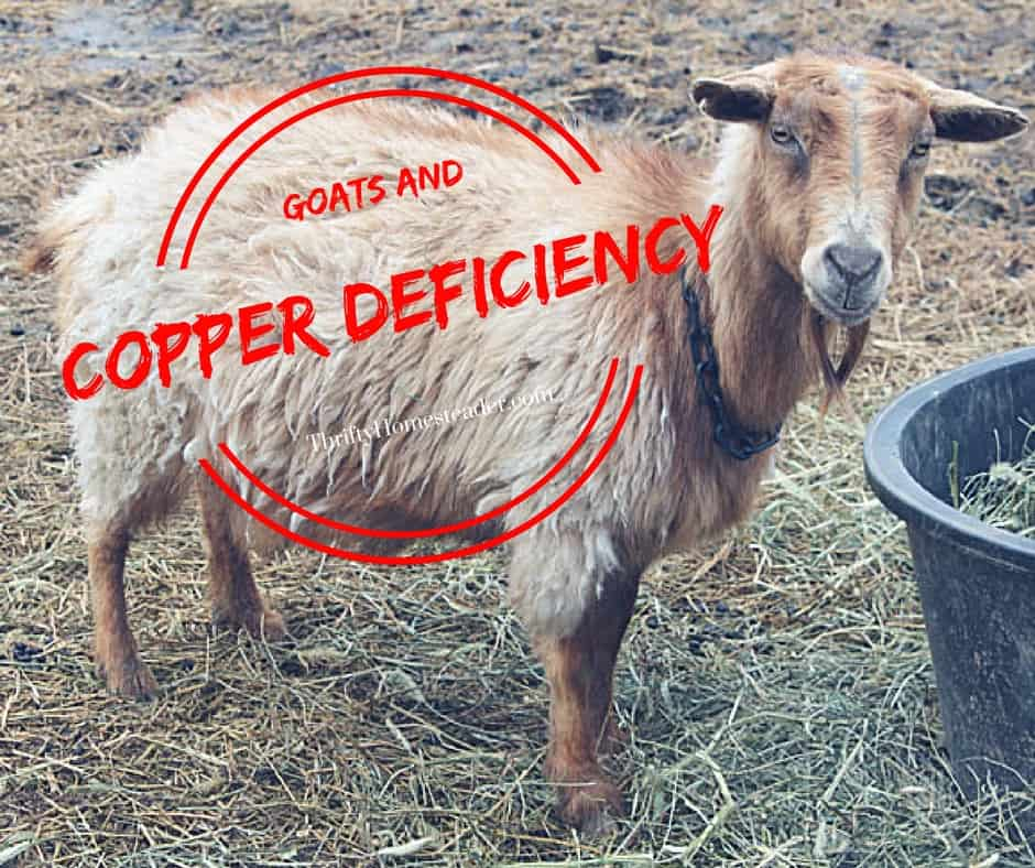 Goats and copper deficiency