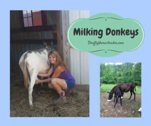 milking donkeys