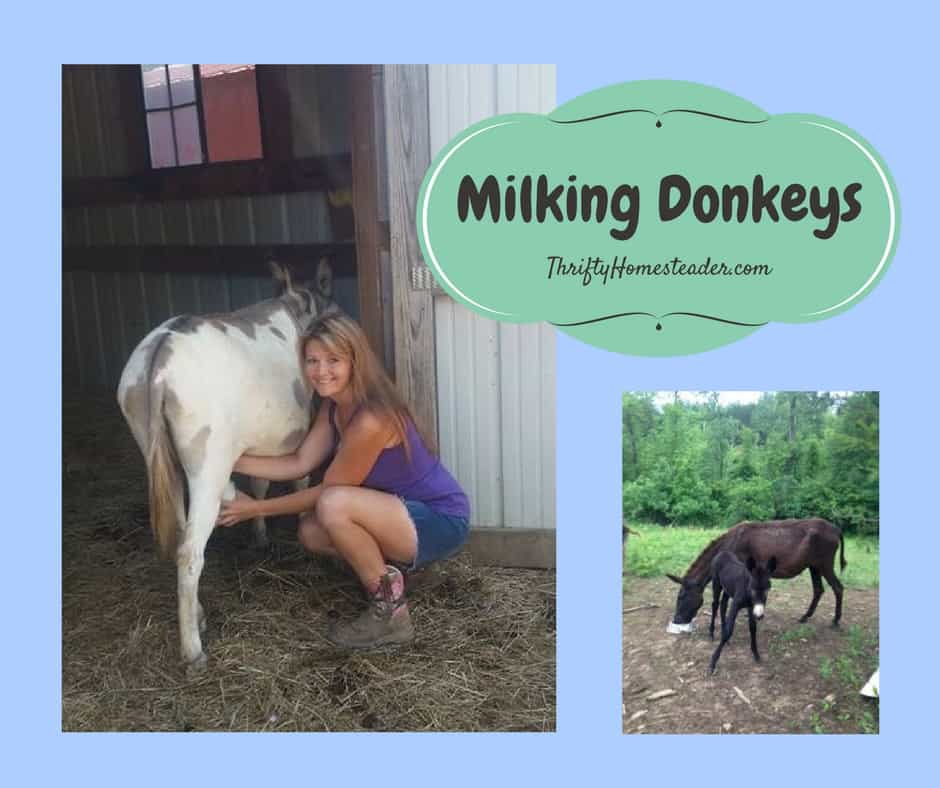 milking donkeys