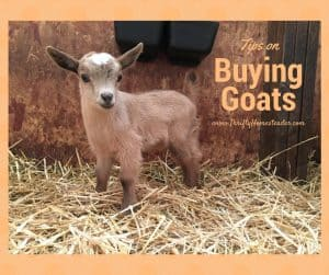 buying goats