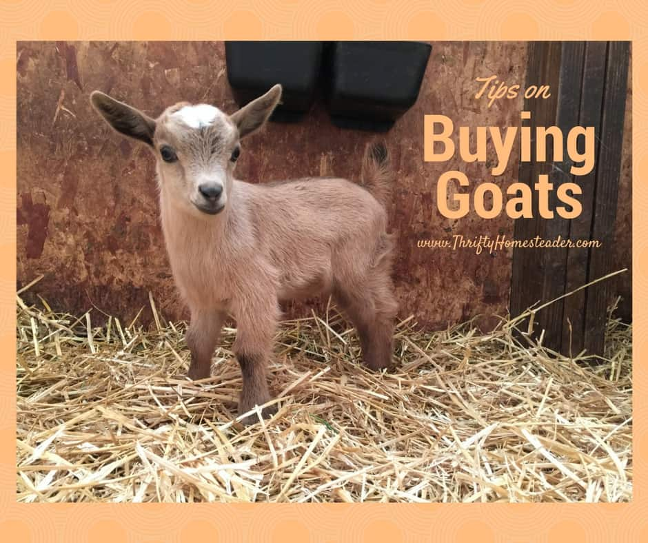 Tips on buying goats