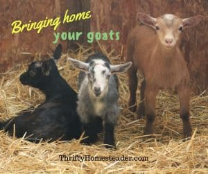 bringing home goats