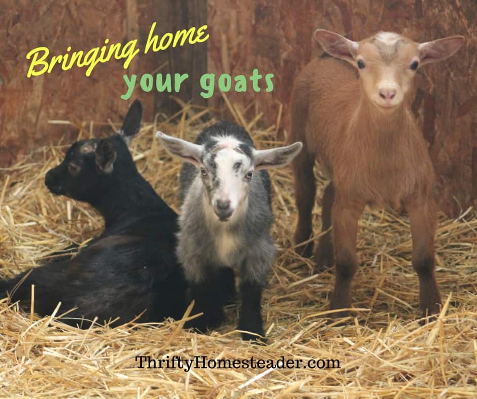 Bringing home your goats