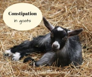 goat constipation