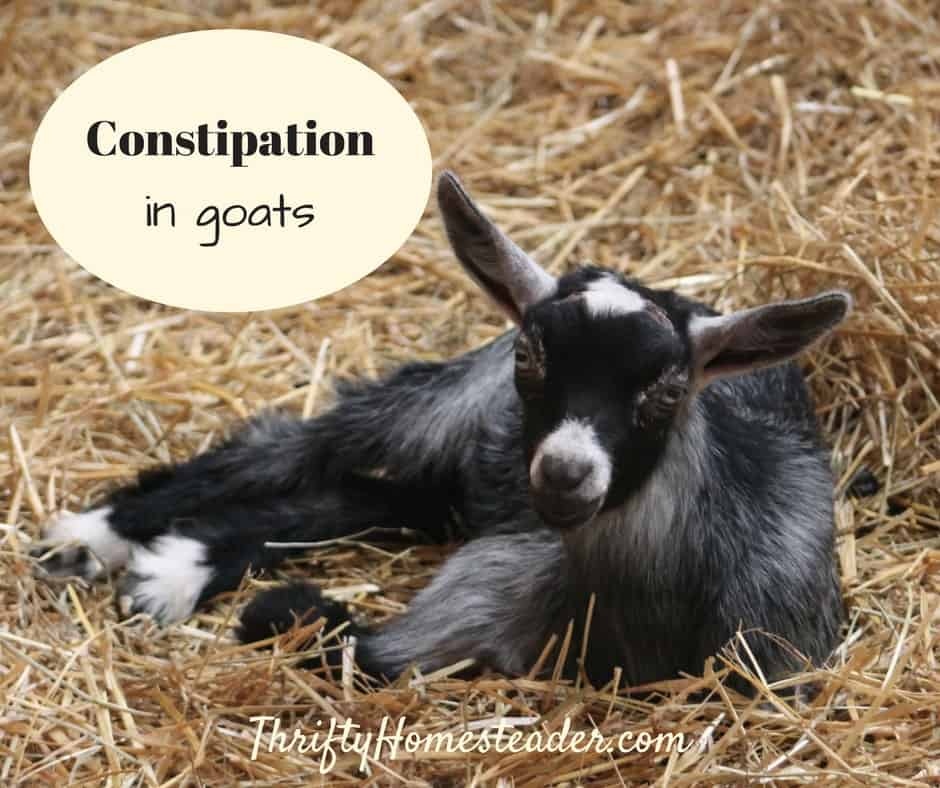 Constipation in goats: a social media epidemic