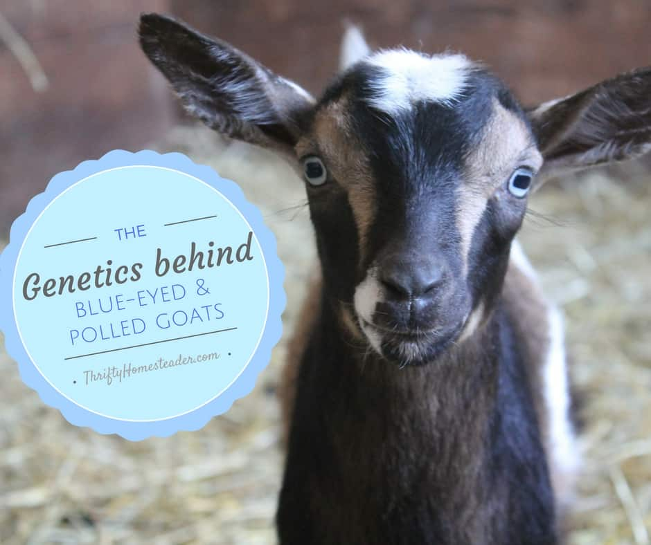 The genetics behind blue-eyed and polled goats