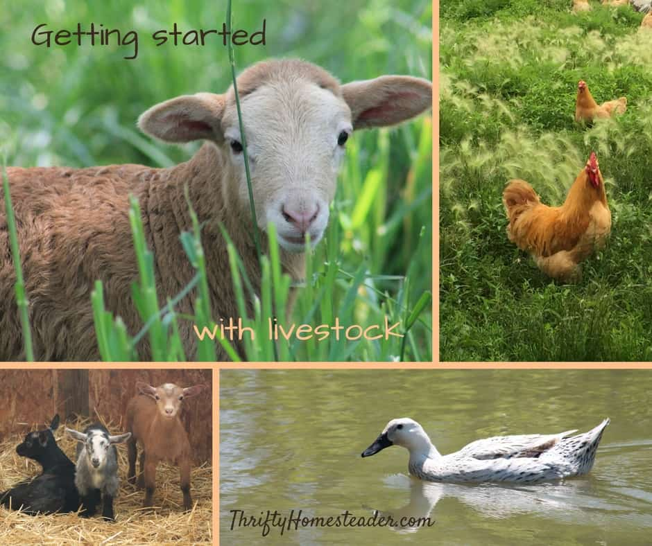 Getting started with livestock