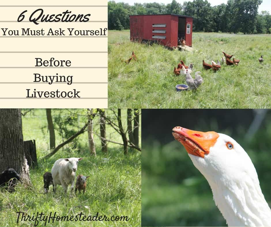 6 Questions You Must Ask Yourself Before Buying Livestock