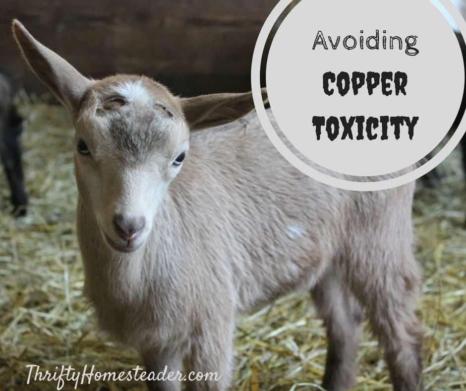 Avoiding Copper Toxicity in Goats - The Thrifty Homesteader
