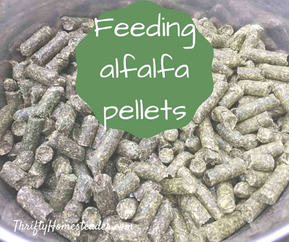 Feeding alfalfa pellets to goats and pigs