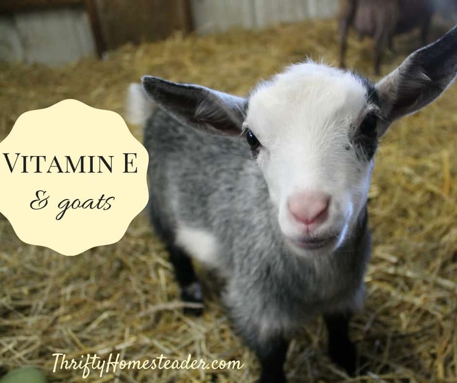 Vitamin E and Goats - The Thrifty Homesteader