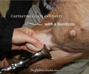 castrating goats and sheep with Burdizzo