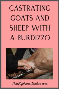 castrating goats