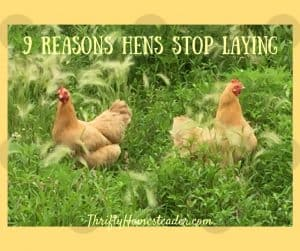 hens not laying