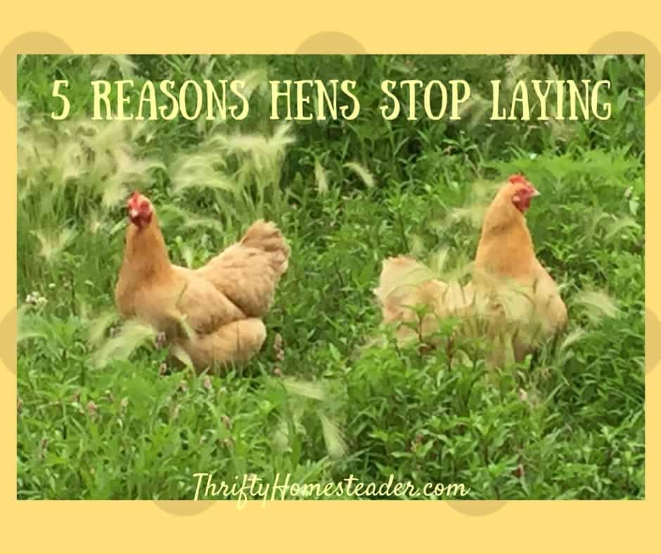 hens stop laying