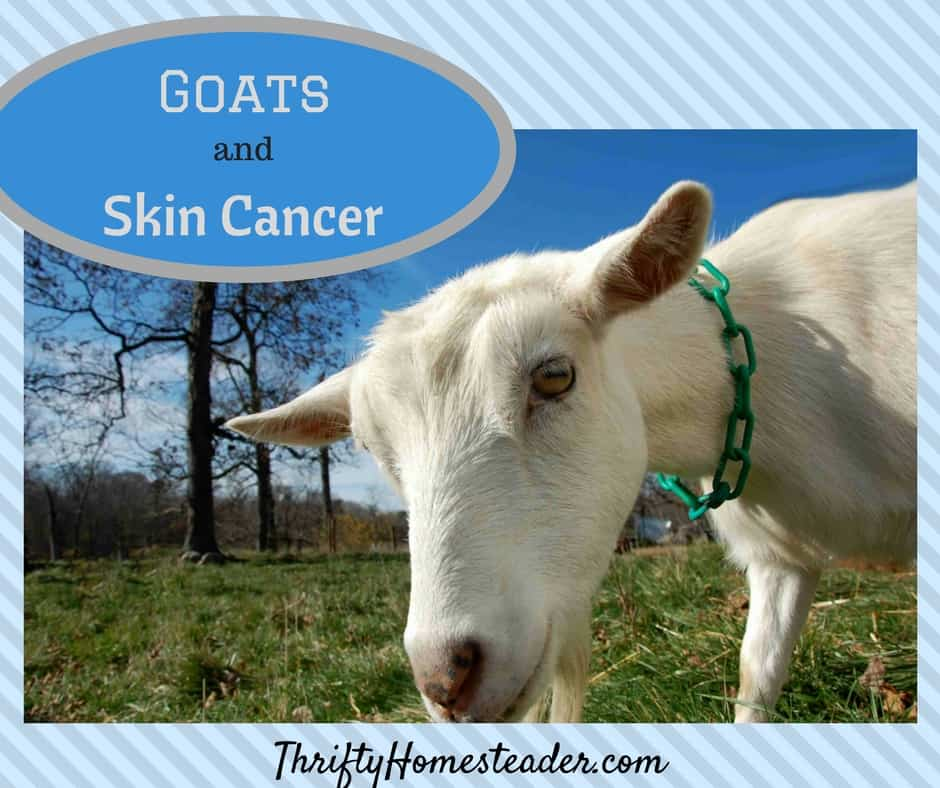 skin cancer in goats