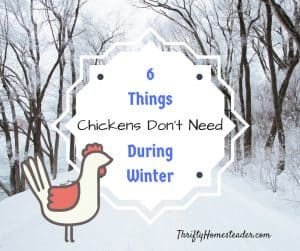 chickens winter