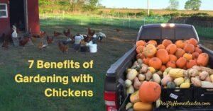 7 Benefits Gardening with chickens