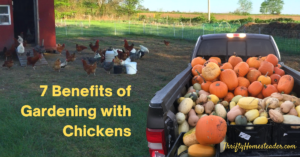 7 Benefits of Gardening with Chickens