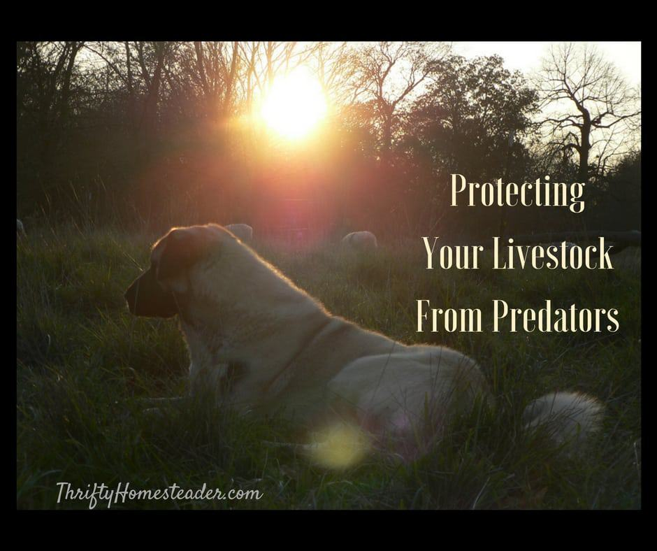 Tips for Protecting Your Livestock from Predators