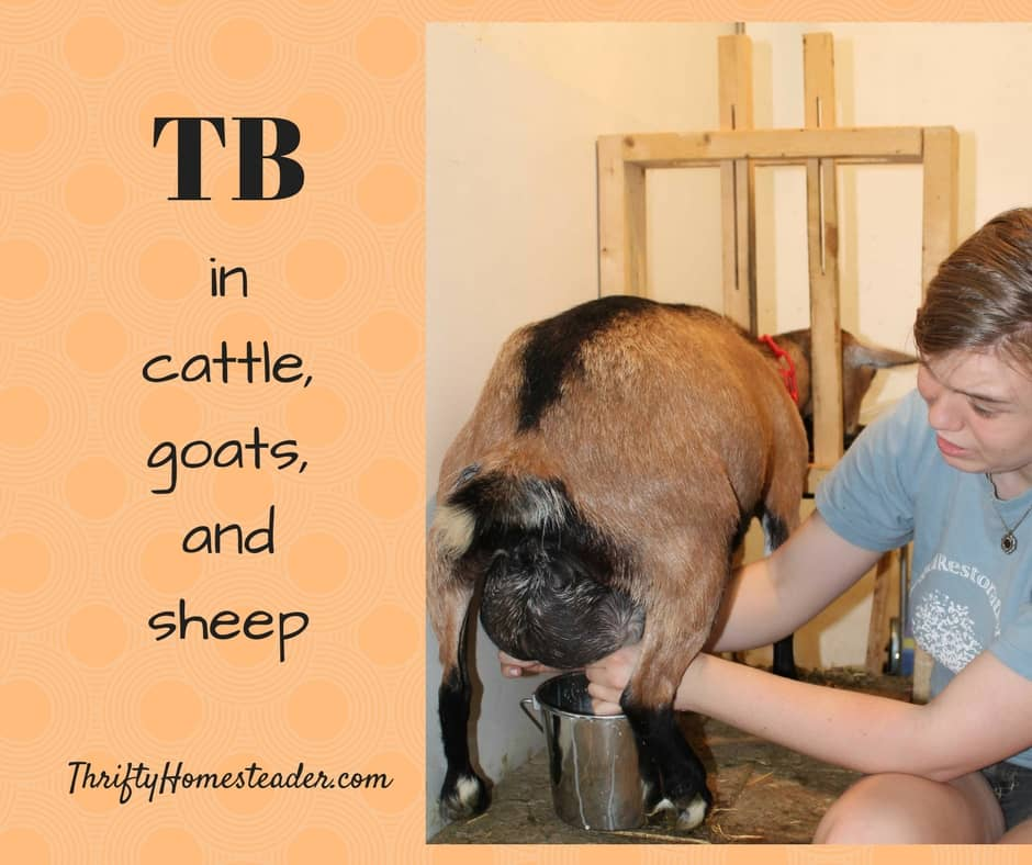Tuberculosis in cattle, goats, and sheep