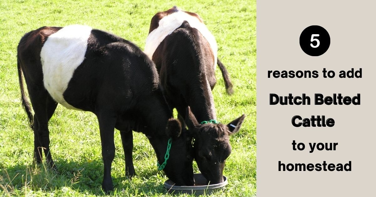 5 Reasons to add Dutch Belted Cattle to your Homestead
