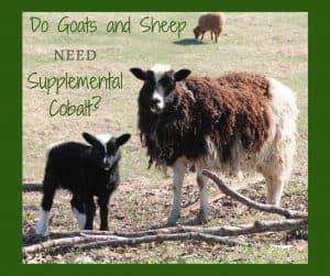 Goats Cobalt