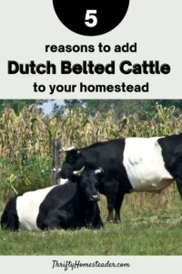 Reasons to add Dutch Belted Cattle to your Homestead