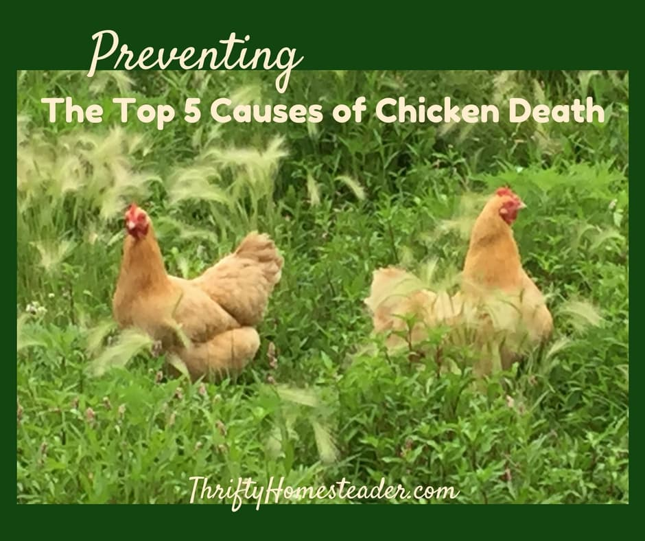 Preventing the Top 5 Causes of Chicken Death