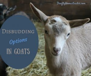 Disbudding goats
