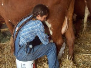 milking shorthorns