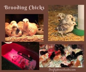 Brooding chicks