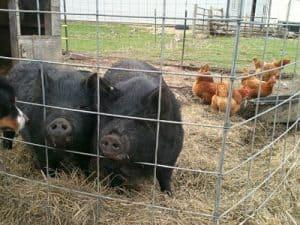hog fencing