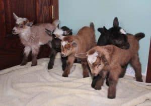 quintuplet goats