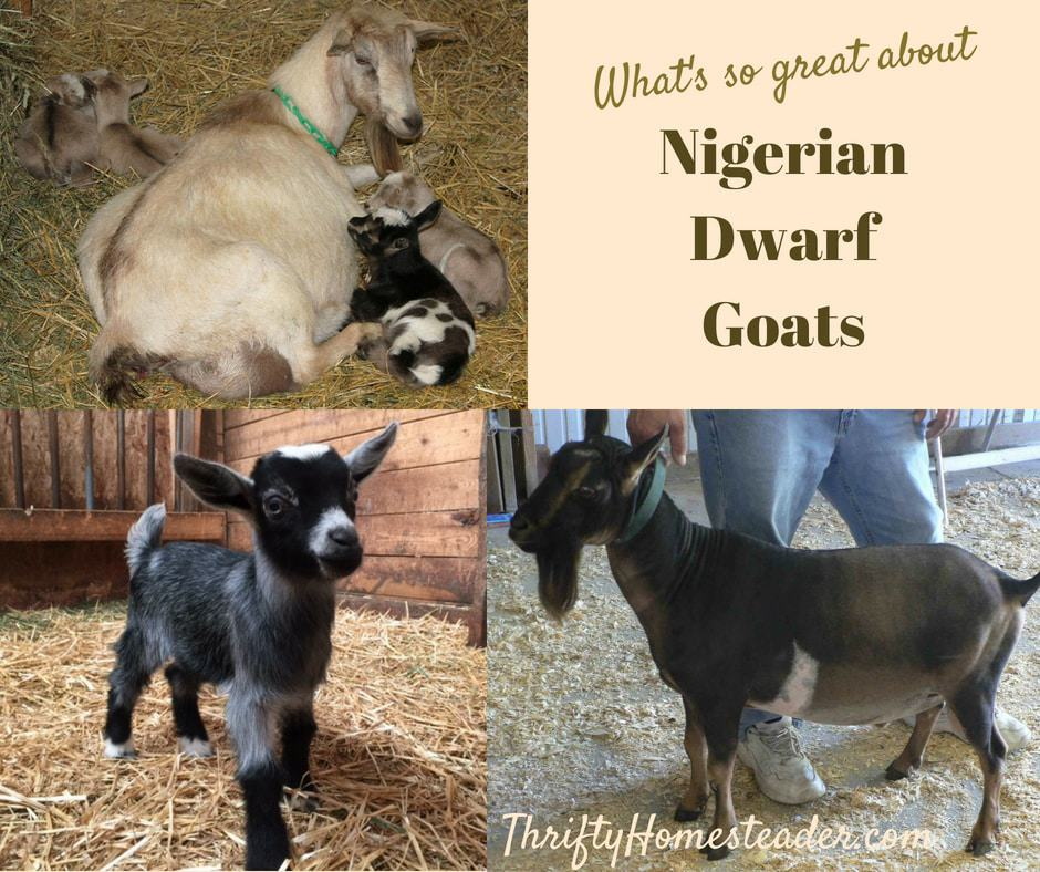 What's So Great About Nigerian Dwarf Goats?