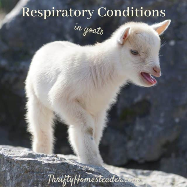 respiratory conditions in goats