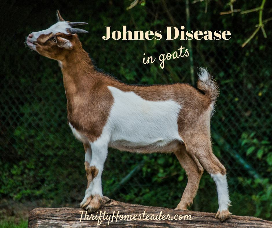 Johne's Disease in Goats