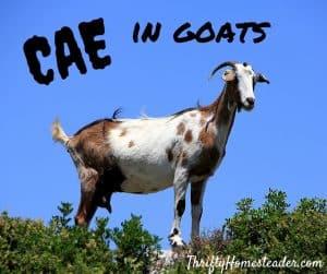 CAE in goats