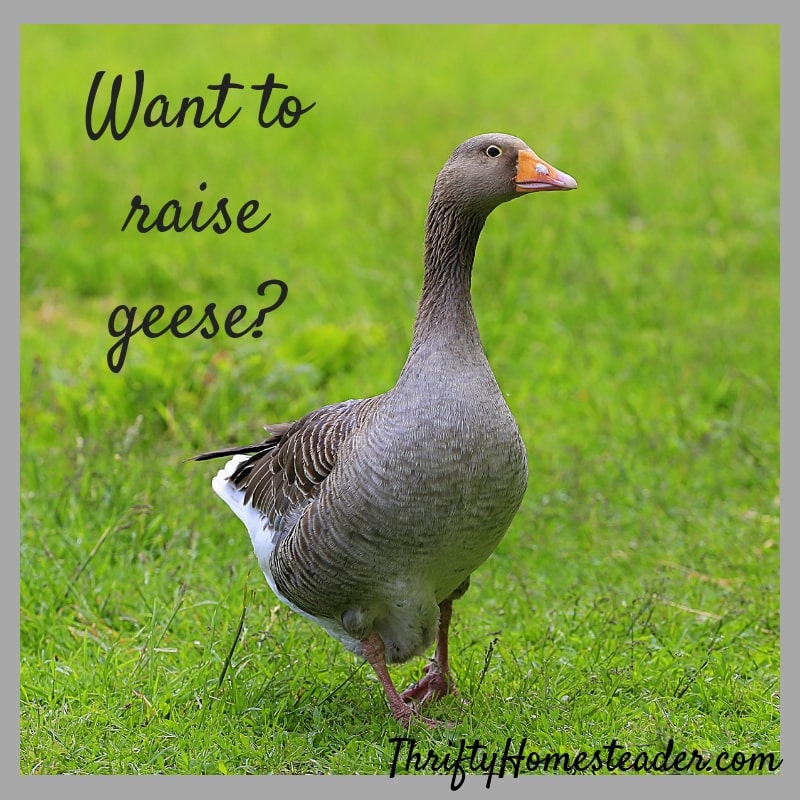 raise geese