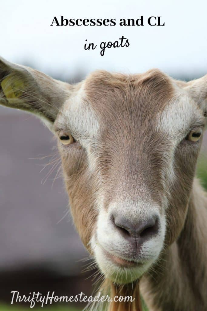 Abscesses and CL in Goats - The Thrifty Homesteader