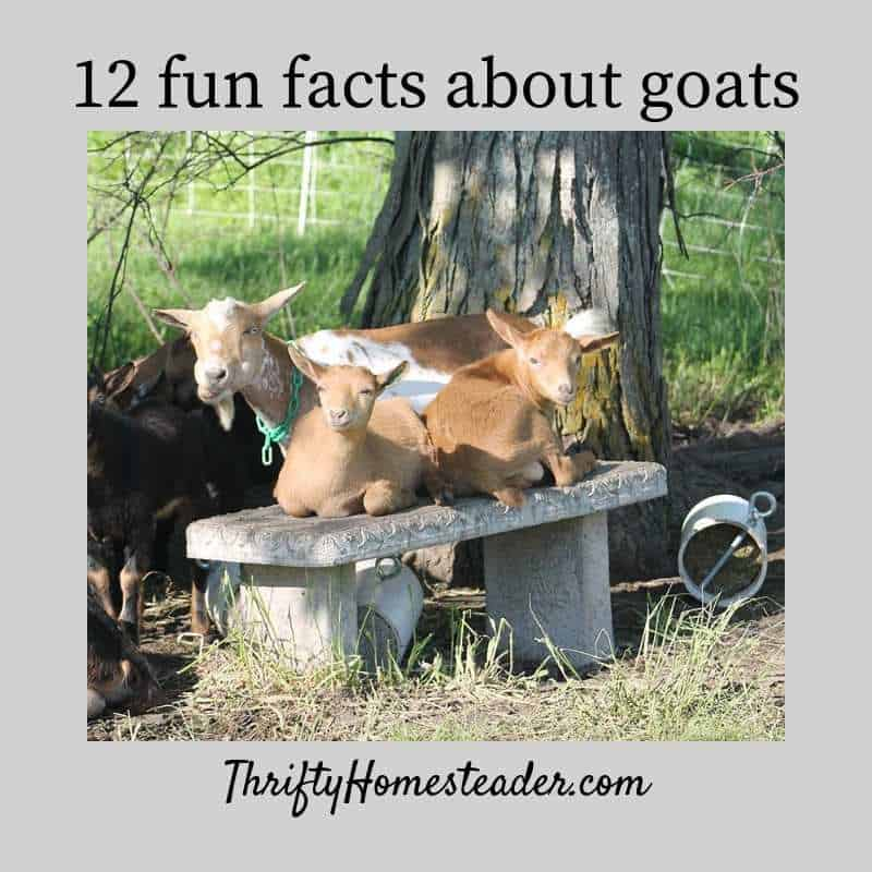 goat facts